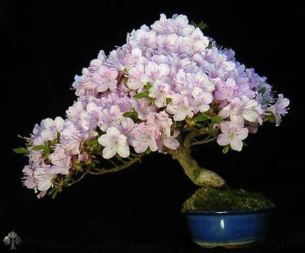 VianPool top-10-cay-bonsai-dep-nhat-the-gioi-anh-6