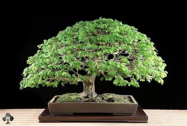 VianPool top-10-cay-bonsai-dep-nhat-the-gioi-anh-7