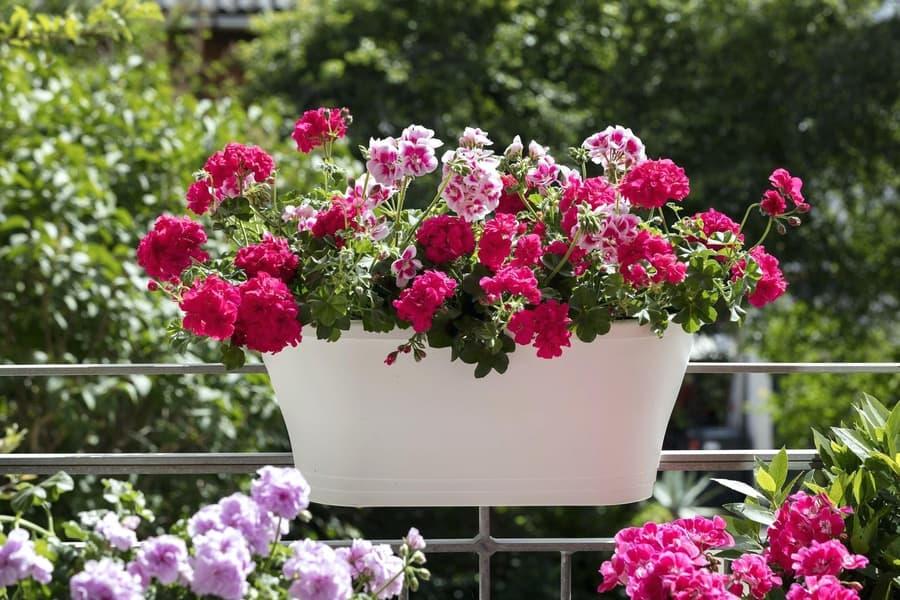 Hoa phong lữ thảo đa dạng màu sắc cho ban công thêm rực rỡ