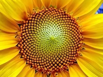 VianPool bi-an-day-so-fibonacci-va-su-trung-hop-kinh-ngac-trong-tu-nhien-9